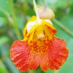 Jewelweed Hummingbird favorite