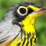 Oh Canada Warbler SY male