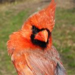 Northern Cardinal male spring
