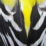 Goldfinch wings