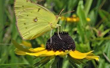 Yellow Sulphur on Black-eyed Susan